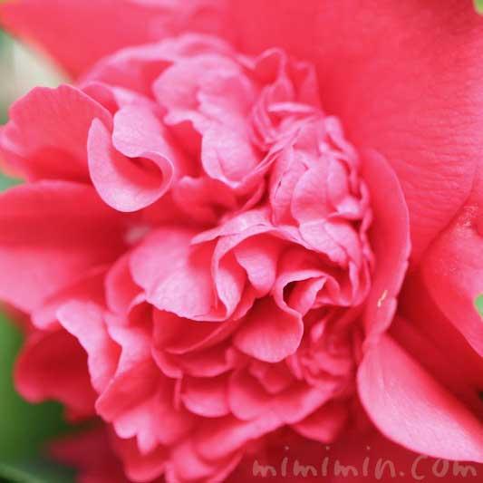 獅子咲きの椿 花の画像