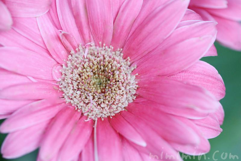 ガーベラ(ピンク)の写真と花言葉と誕生花の画像