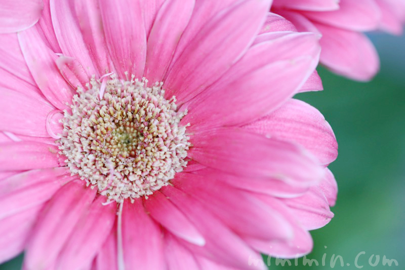ガーベラ(ピンク)の花の写真と花言葉と誕生花