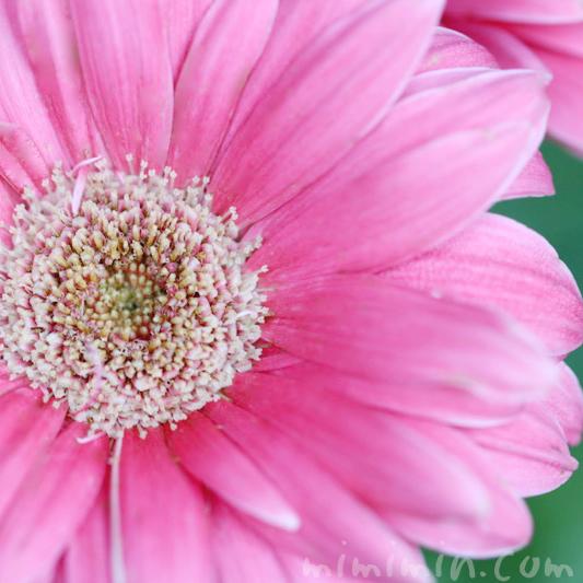 ガーベラ(ピンク色)の花言葉と誕生花の画像