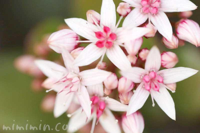カネノナルキの花の写真と花言葉の画像