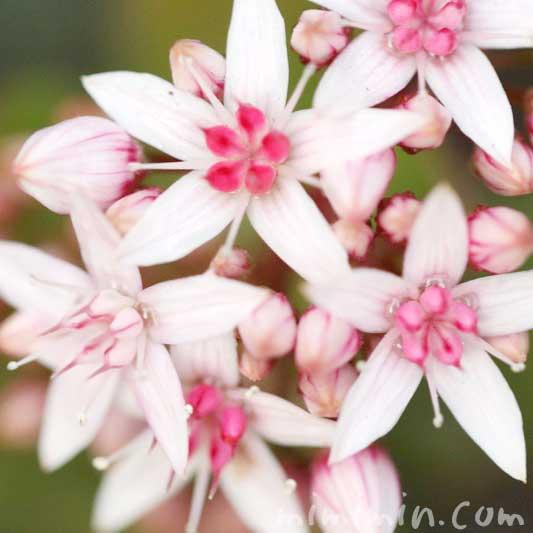 金のなる木の花の写真と花言葉の画像