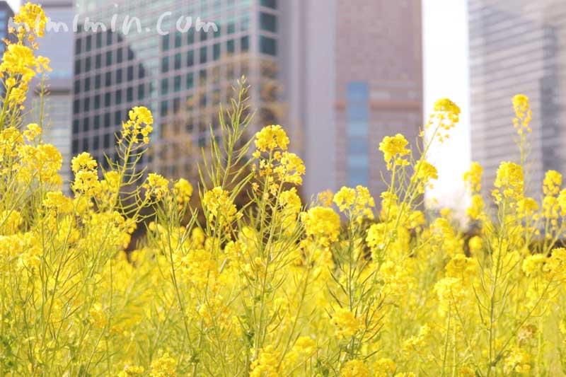 菜の花の写真と花言葉|浜離宮恩賜庭園の画像