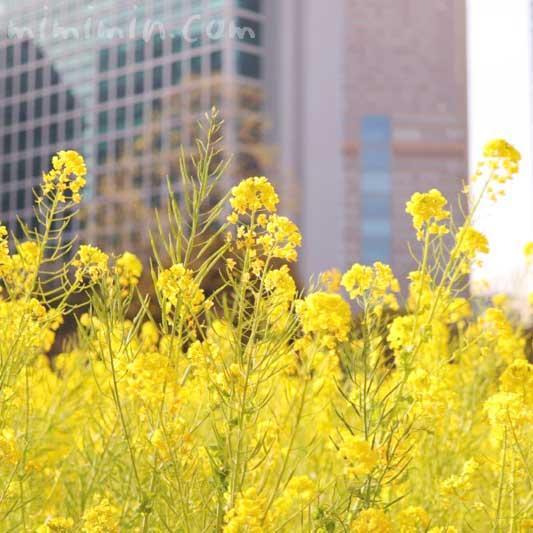 菜の花の写真と花言葉(浜離宮恩賜庭園)