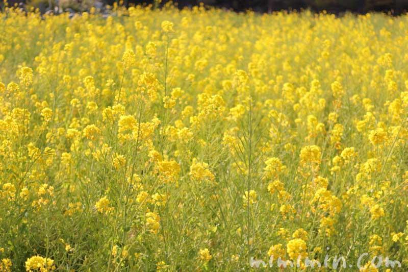 菜の花の写真と花言葉|浜離宮