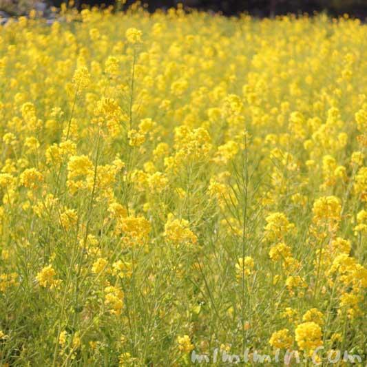 菜の花の写真と誕生花(浜離宮恩賜庭園)