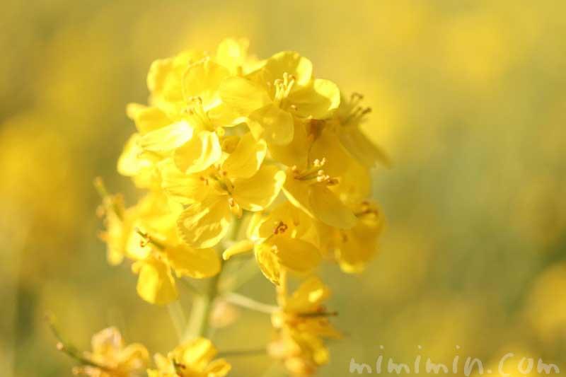菜の花の写真・花言葉|浜離宮の画像