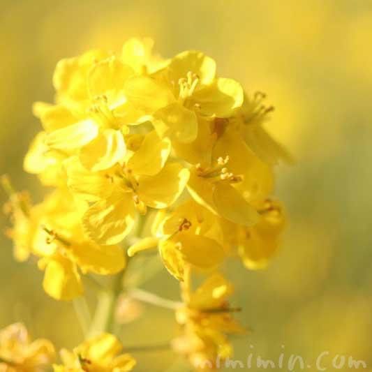 菜の花の写真 誕生花(浜離宮恩賜庭園)の画像