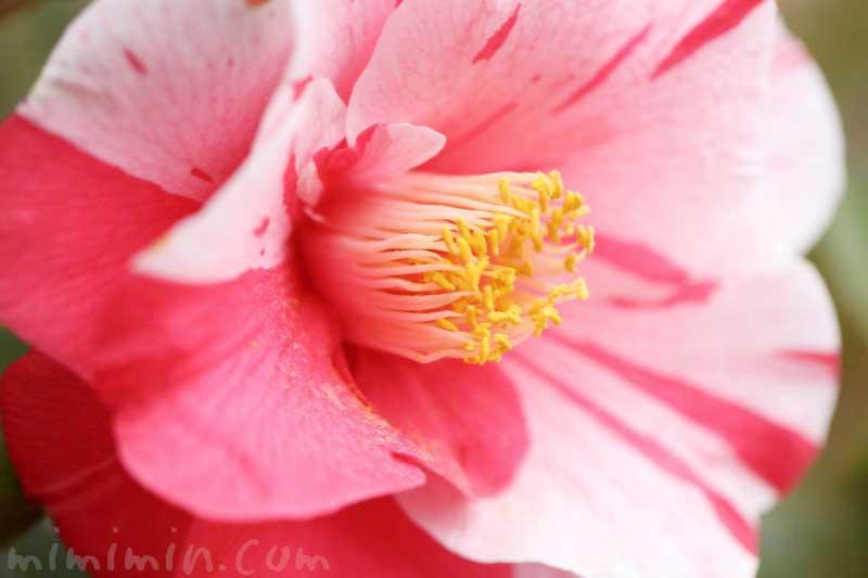 ツバキ(斑入り椿)の写真 花言葉