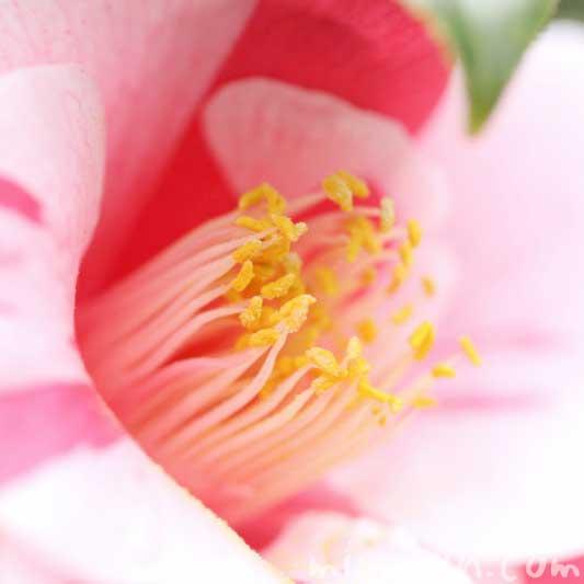斑入り椿の花の写真と花言葉の画像