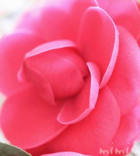 ツバキ(千重咲き椿・乙女椿)|花の写真・花言葉