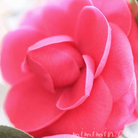ツバキ(千重咲き椿・乙女椿)の花の写真・花言葉の画像