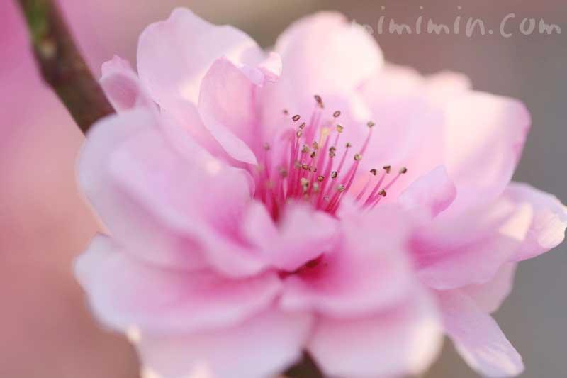 ピンクの桃の花の写真と花言葉