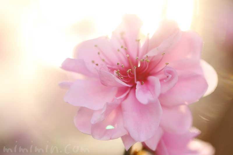 ハナモモの写真と花言葉の画像