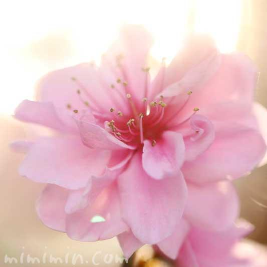 ピンクの桃の写真と花言葉の画像