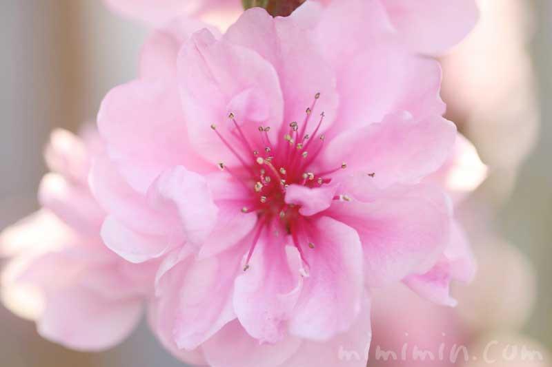 ハナモモの写真 花言葉の画像