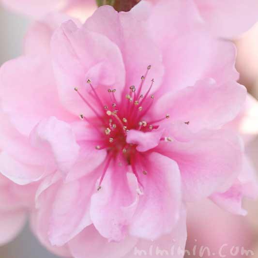 ピンクの桃の写真 花言葉