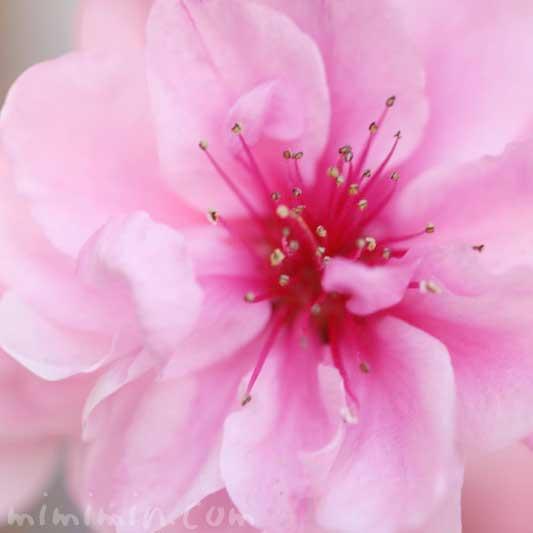 ピンクの桃の花の写真 花言葉の画像
