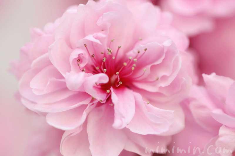 ハナモモ(ピンク)の写真 花言葉