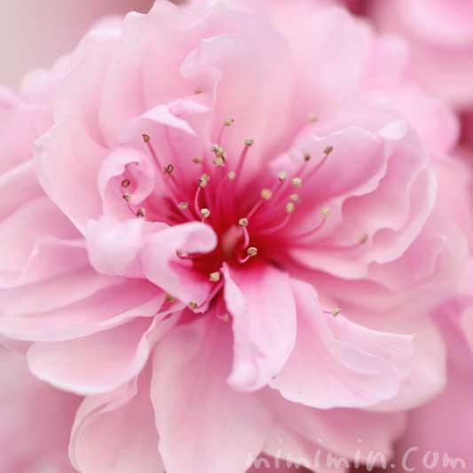 桃の花の写真と花言葉の画像