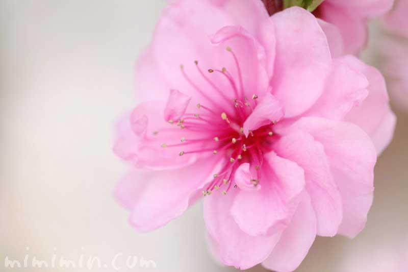 ハナモモ(ピンクの桃の花)の写真と花言葉の画像