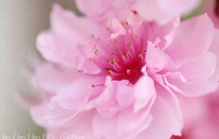 ハナモモ(ピンクの桃の花)の写真 花言葉