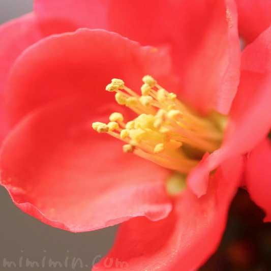 ボケの花の写真 花言葉・誕生花・源平咲分けの画像