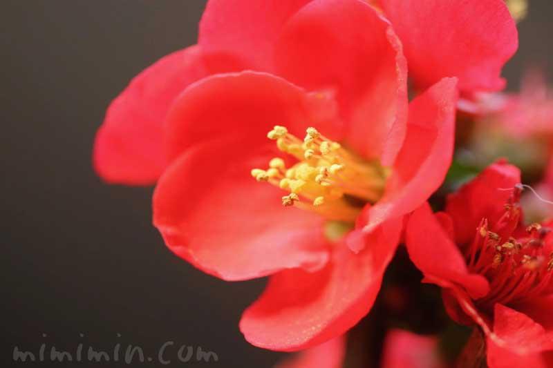 赤いボケ(木瓜)の花の写真と花言葉・誕生花・源平咲分けの画像