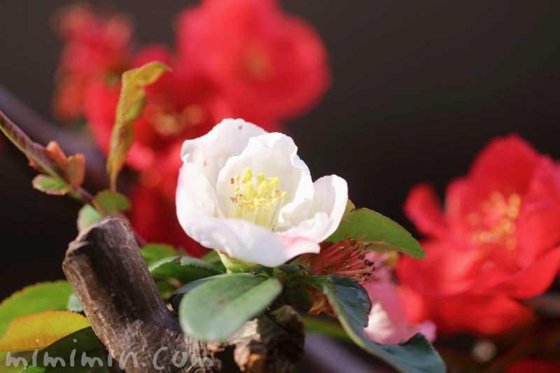ボケ(木瓜)の花の写真と花言葉・誕生花・源平咲分け