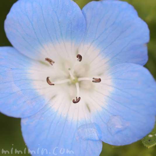 ネモフィラの花の写真 名前の由来