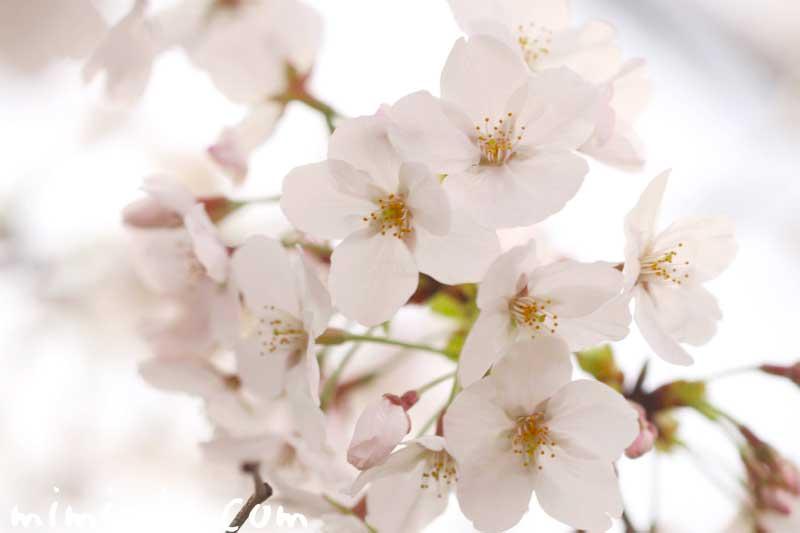 桜の写真 花言葉と神話