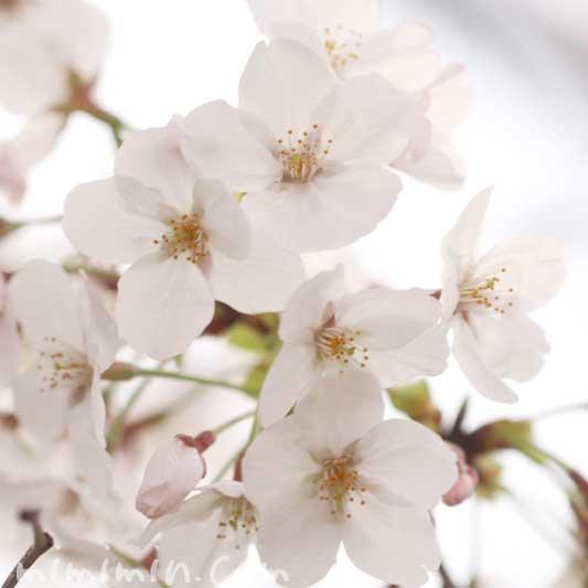 桜の花の写真 花言葉 神話 誕生花の画像