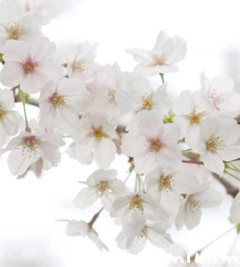 桜の花言葉・桜の花の写真