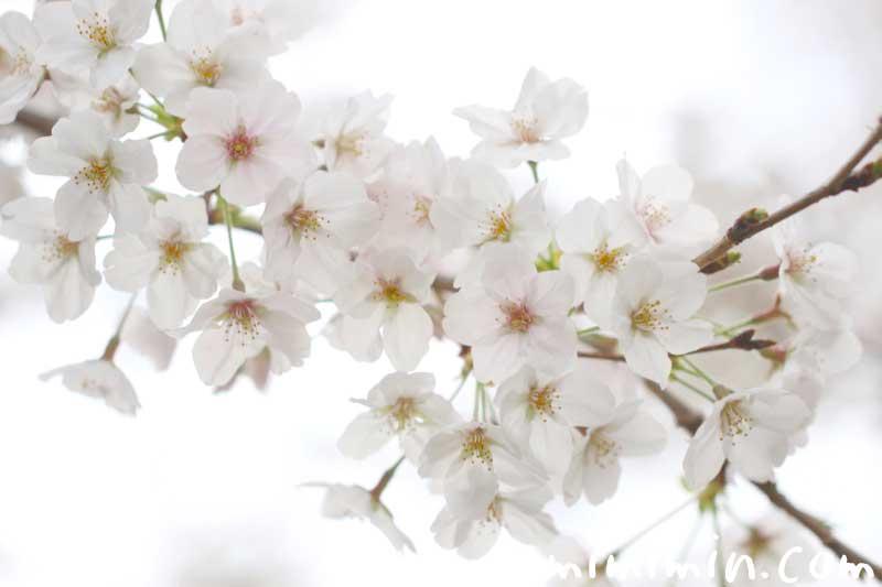 桜の写真 花言葉 神話の画像