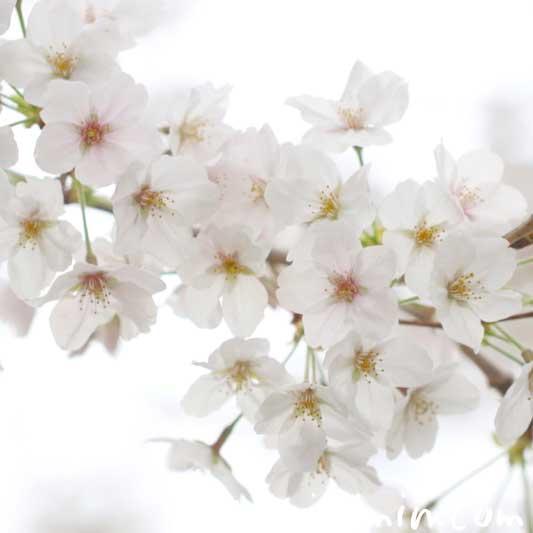 桜の花の写真 花言葉 神話