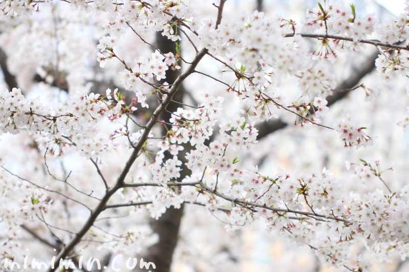 桜(ソメイヨシノ)の写真 花言葉 桜の神話