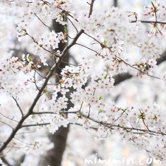 桜の花の写真 花言葉と神話の画像
