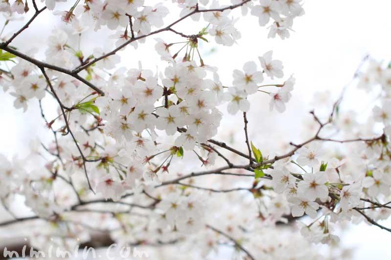 桜(ソメイヨシノ)の写真 花言葉と 桜の神話の画像