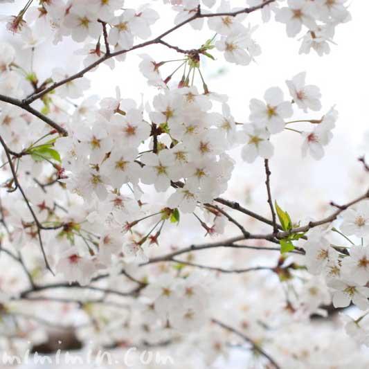 桜の写真 花言葉 神話 誕生花