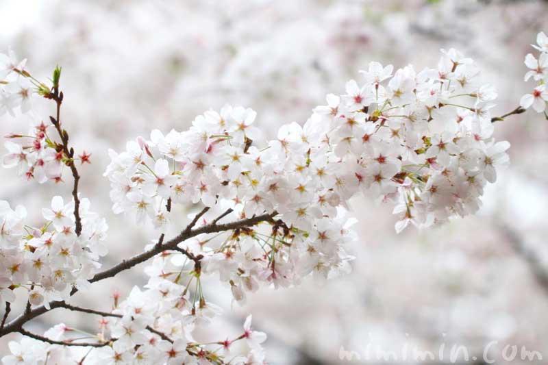 桜(ソメイヨシノ)の花の写真 花言葉と 桜の神話