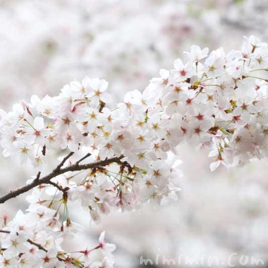 桜の写真 花言葉と神話 誕生花の画像