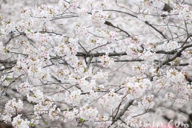 桜(ソメイヨシノ)の花の写真 花言葉 桜の神話の画像