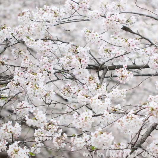 桜の花の写真 花言葉と神話 誕生花