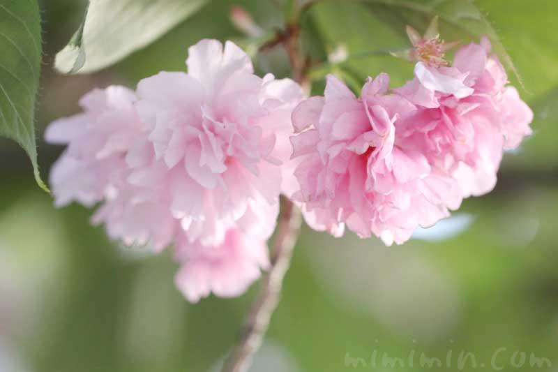 ヤエザクラの写真 花言葉 誕生花