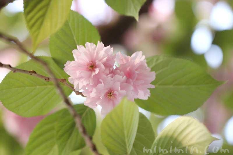 ヤエザクラの写真と花言葉と誕生花の画像