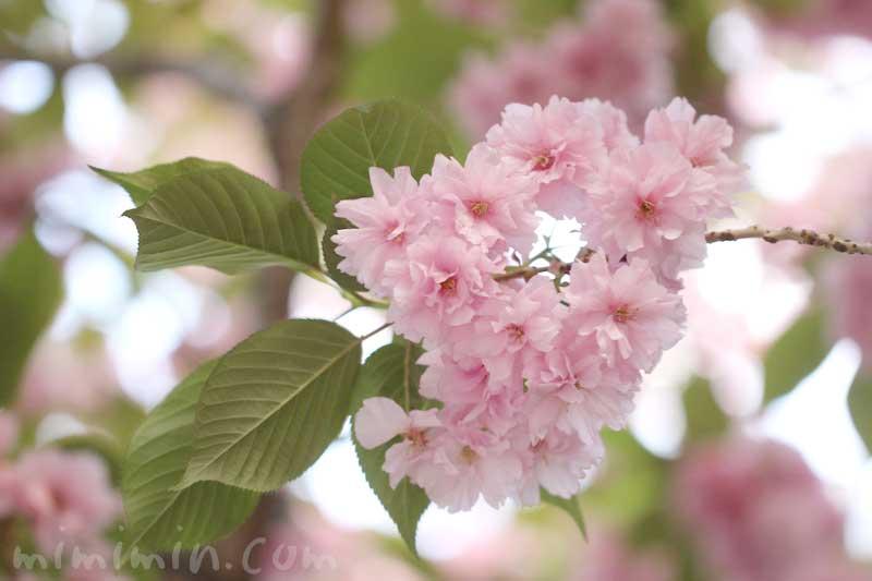 ヤエザクラ 花の写真と花言葉と誕生花