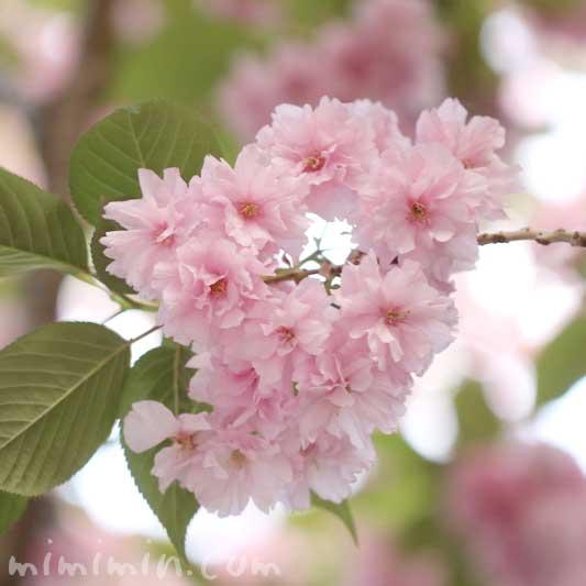 八重桜の写真と誕生花の画像