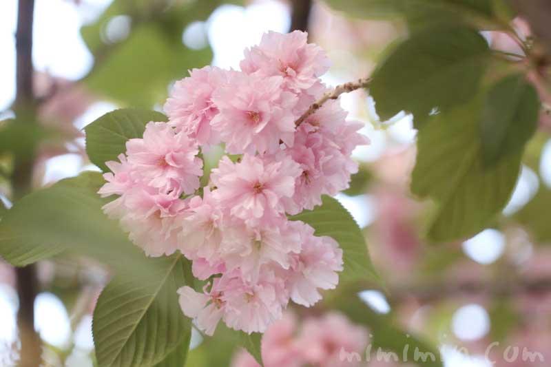 ヤエザクラの花の写真 花言葉 誕生花の画像