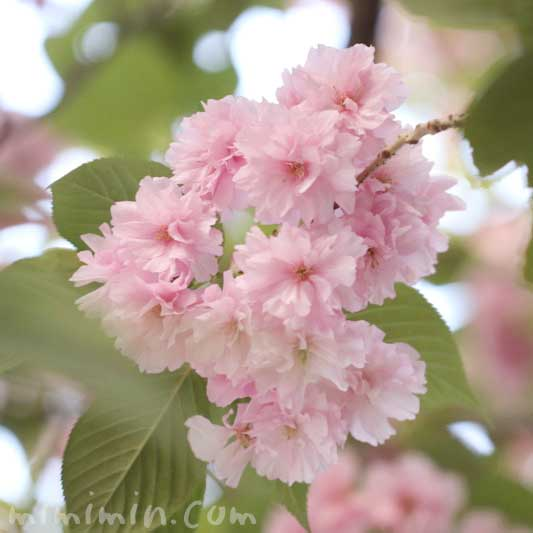 八重桜の写真と花言葉と誕生花