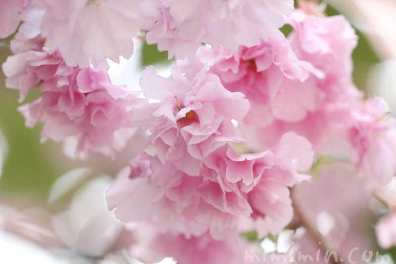八重桜の花の写真 花言葉 誕生花